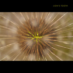 Lion's Tooth (Sprogz) Tags: macro 100mm dandelion seeds seedhead 365 114 dentdelion 2011 lionstooth project365 raynoxdcr250 365project dailyshoot 2011inphotos ds525