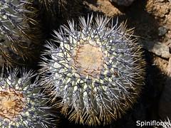 057-dia07-Clongistaminea (Spiniflores) Tags: longistaminea