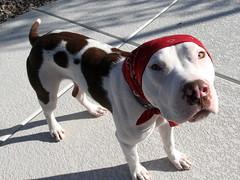 Captain Babushka Cow Pants (woofslc) Tags: rescue adopt fosterdog shelterdog clowndog spayandneuter shelterpitbull spottedpitbull doginabandanna