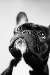 Look Up (Lainey1) Tags: bw dog cute eyes nikon ears canine bulldog lookup mug frenchie frenchbulldog ozzy muzzle d90 alienskin nikond90 exposure3
