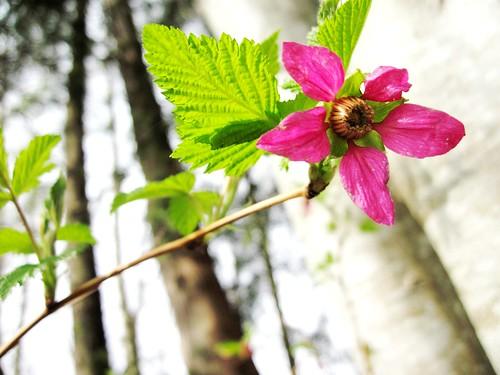Salmon Berry Blossom