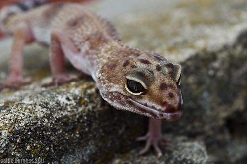 gecko 007