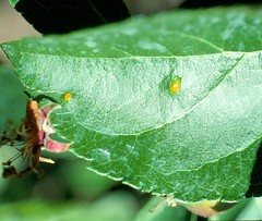 Cedar apple rust lesions are distinctly yellow to orange. Sometimes there are only one or two lesions per leaf. Photo courtesy Alan R. Biggs, West Virginia Univ.