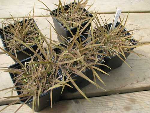 Arthropodium candidum maculatum