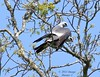 Mississippi Kite Pair....Making More (Image Hunter 1) Tags: blue sky tree nature birds wings louisiana branch branches feathers bayou breeding swamp mating greenery marsh mississippikite t2i birdslouisiana bayoucourtableau canont2i