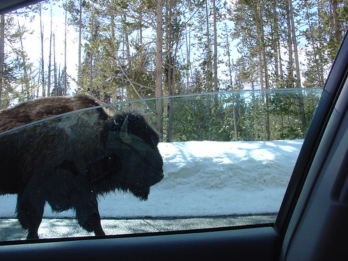 Bison walking down road, Yellowstone by DRheins