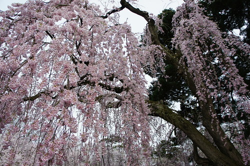 overhanging Japanese cherry