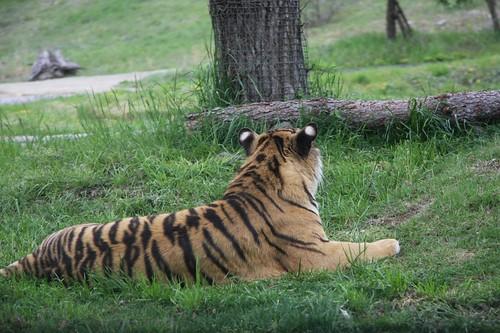 トラ / Tiger