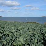 Chou fleur à Louannec et vue sur les Sept Iles