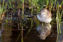 Solitary Sandpiper (BigBrotherBear) Tags: light wild food sun reflection green bird wet water grass animal digital canon prime is spring bokeh eating flash 14 bracket sunny super 420 full 300mm professional eat telephoto ii breeding frame pro l mk2 5d 28 usm 300 breed beamer migration sandpiper solitary job better f28 ef 580ex 28l wimberley mkii extender wader 14x gimbal 300l 420mm f28l canonextenderef14xii 14xextender feisol canonef300mmf28lisusm 580exii 580ii 5dmkii 5dmk2 extendermkii 14mkii 14mk2