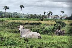 Vises do Interior - Calma e Tranquilidade (michel.aaron) Tags: brazil brasil interior natureza paz campo calma tranquilidade hdr boi riograndedonorte agropecuria