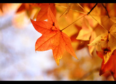 summer's farewell XI (Cynthia Brown Images) Tags: autumn red blur tree fall leaves yellow relax 50mm leaf stem nikon waiting dof bokeh f14 australia depthoffield silence 365 nevictoria repose afternoons orane liquidamber d90 vicotira fixedfocallength summersfarewell aprilrest
