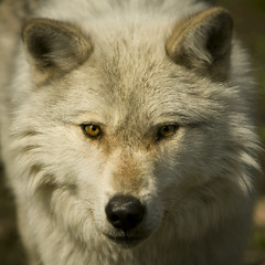 White Wolf (Dan Demczuk) Tags: haliburtonwolfcentre kennisislake ontario canada dandemczuk canon 20d wolfeyes canislupus predator grissom whitewolf wolf