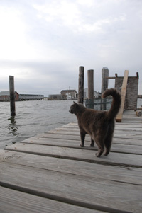 Community cat on Tangier Island dock
