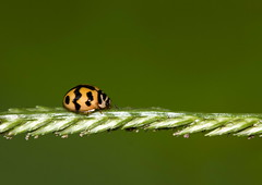 Ladybug (Antonio Giudici Butterfly Trips) Tags: thailand ladybug kohphangan coleoptera antoniogiudicibutterflytrips wwwantoniogiudicicom wwwthaibutterfliescom
