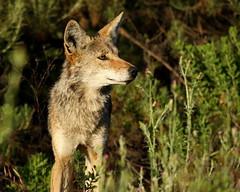 Attentive Father (Jared Hughey) Tags: california coyote wild nature animal wildlife santamonicamountains losangelescounty agourahills canislatrans cheeseborocanyon