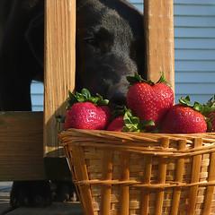 red dog black fruit puppy strawberry lab labrador basket heart retriever
