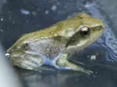 Froglet (Teapot Taylor) Tags: amphibian frog froglet pondlife gardenwildlife