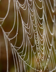 Dew Draped Web (Explored) (Lana Gramlich) Tags: autumn fall lana nature topf25 catchycolors spider louisiana web dew dda gramlich abitasprings tnc thenatureconservancy canoneosdigitalrebel greatphotographers sttammanyparish fantasticnature abitacreekflatwoodspreserve dragondaggerphoto dragondaggeraward nov92010 lanagramlich dailynaturetnc11 photocontesttnc12 photoofthedaynwf14