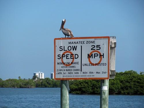 IMG_5681-Estero-Bay-brown-Pelican