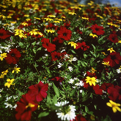 (Mightyhorse) Tags: flowers 120 slide underexposure flektogon50mmf4 fujiproviardp100 kiev50