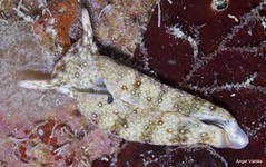 Plakobranchus ocellatus,Angel Valdés  Cataloging Diversity in the Sacoglossa LifeDesk