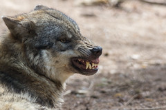 Fugly wolf (Jon Ames) Tags: wolf teeth ugly vicious snarl