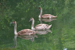 Three of a kind (Nige H (Thanks for 6.5m views)) Tags: nature lake water swan cygnet bird animal
