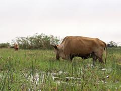 Kuh im Okavangodelta (gartenzaun2009) Tags: botswana kuk okavangodelta safari
