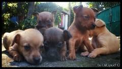 baby dogs (GMGprod') Tags: dog baby bygmgprod chien bebechien bebe pets animaux little pinscher iledelareunion colors garden cute socute lindo mignon