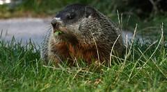 Groundhog (kaprysnamorela) Tags: marmotamonax groundhog mammal animal squirrel woodchuck whistlepig sciuridae largegroundsquirrel grass green marmot cherrybeach toronto ontario canada outdoor nikond3300