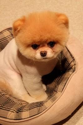 boo_Pomeranian_Dog_04