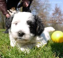 I want to play! (Rockabella Anne) Tags: park sun nature sunshine puppy essen puppies play natur sonne nordrheinwestfalen spielen sonnenschein welpe werden whelp northrhinewestphalia hundewelpen essenwerden whelps