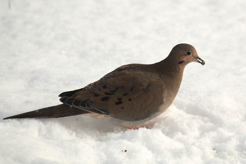 Mourning dove (25 of 44).jpg