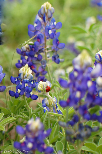 Little Lady in the Bluebonnets