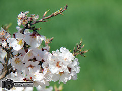 (Saeid Ghasemi) Tags: nature beautiful spring iran blossom     khomein