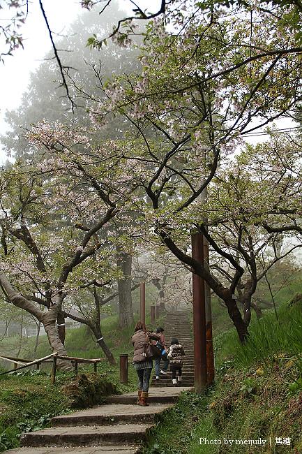 阿里山櫻花季陰天版41
