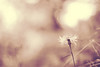 I've always liked the time before dawn.. (december*sun) Tags: light flower canon 50mm soft dof bokeh storypeople ivealwayslikedthetimebeforedawnbecausetheresnoonearoundtoremindmewhoimsupposedtobesoitseasiertorememberwhoiam