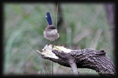 93-365 Immature Male Superb Fairy-Wren