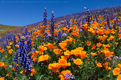 Hills of Color - Tejon Ranch, Kern County, California (Jim Patterson Photography) Tags: california travel flowers blue wild sky orange usa nature landscape outdoors spring flora pretty purple scenic hills poppy poppies lancaster wildflowers lupine tejonranch jimpattersonphotography jimpattersonphotographycom seatosummitworkshops seatosummitworkshopscom