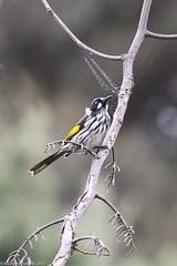 New Holland Honeyeater (wl) Tags: bird canon eos native australia 7d perch honeyeater 100400mm newhollandhoneyeater