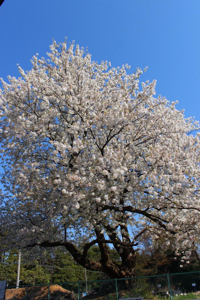 Sakura Photo 2011Bajikouen (2)