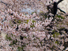 Cherry blossoms in dizzle 03