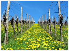 Dandelion in the Vineyard (Habub3) Tags: park wood 2001 travel blue sky sun holiday green nature berg grass yellow canon germany landscape deutschland vanishingpoint vineyard spring wire flora europa stuttgart walk linie urlaub hill natur himmel vine powershot line dandelion gelb april gras grn blau holz landschaft sonne grapevine vacanze stake reise wein frhling weinberg spaziergang g12 draht weinstock lwenzahn pfahl habub3 mygearandme stmpfelbach
