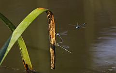 Blue Ringtail Damselflies :  Someone is watching .... (Clement Tang ** Busy **) Tags: morning autumn nature insect inflight wildlife australia victoria mating bluedamselfly lestidae closetonature blueringtail austrolestesannulosus concordians candlebarkpark