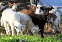 Gang of lambs