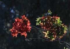 leaf balls (jani.na) Tags: autumn red tree green leaves leaf oak bokeh balls australia canberra turner act