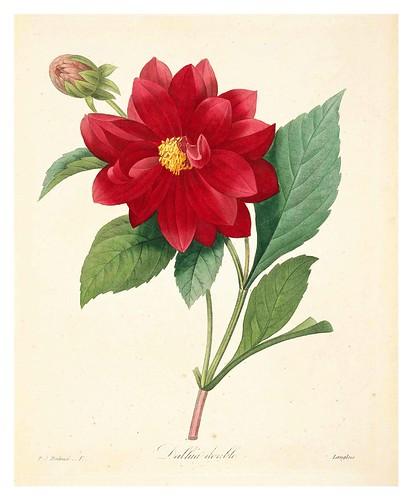 002-Dalia Doble-Choix des plus belles fleurs…1827- P.J.Redoute