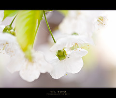 white blossoms highkey (def110) Tags: germany freiburg blten weis 2011 wonderfulworldofflowers