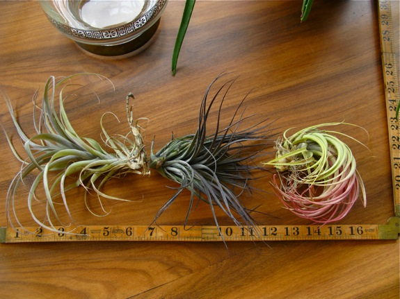 old faithful tillandsia air plants 001